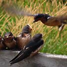 Lunch is Served to the Fourth Baby Barn Swallow by JMcCombie
