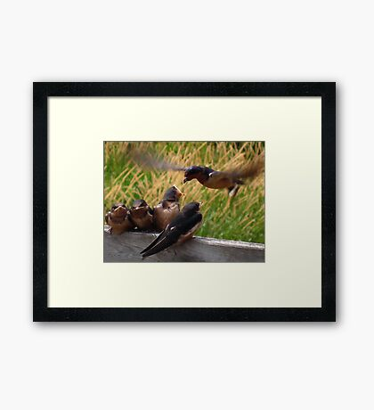 Lunch is Served to the Fourth Baby Barn Swallow Framed Print