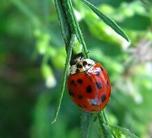 Lady Bug munching by konshua