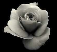 Bele Ruze - White Rose by Rozita