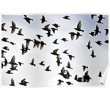 European Starlings Poster