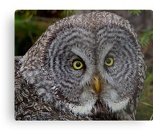 WILD Great Gray Owl Portrait Metal Print