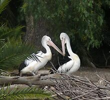 Pelican Kiss by Rozita