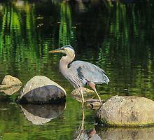 Blue Heron Reflections by hummingbirds