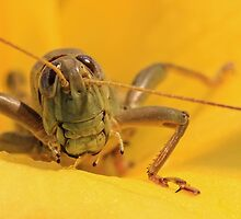 Grasshopper and Yellow Flower by Gary Horner