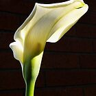 lovely sunlit calla lily before brick by dedmanshootn