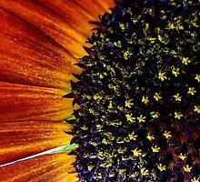 Red Velvet Queen Sun Flower by Carla Jensen