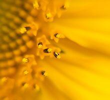Close of a sunflower by Anna Calvert