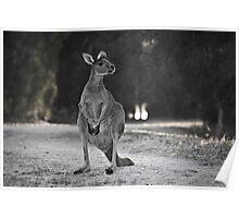 Western Grey Kangaroo Poster