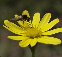 Challenging the accepted paradigm - vegetarian mosquito on Senecio vagans by orkology