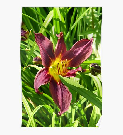 Burgundy lily Poster