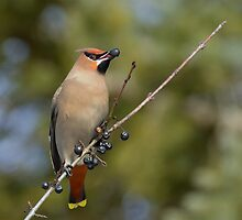 Bohemian Waxwing and Buckthorn Fruit by Heather Pickard