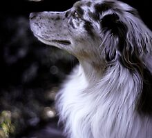 Australian Shepherd by Lisa Diamond