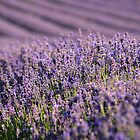  English Lavender in the Summer Sun by Alex Cassels