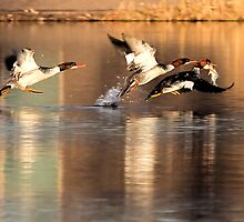 Common Mergansers by Marvin Collins