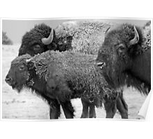 Buffalo Family Portrait Poster