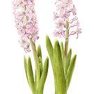 Hyacinths by Maureen Sparling
