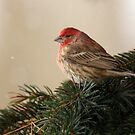 Purple Finch by Renee Blake