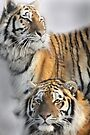 TWO TIGERS by Debbie Ashe