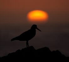 African Black oyster catcher - silhouetted against the setting sun by JulesM
