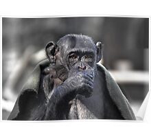 Chimp in a blanket Poster