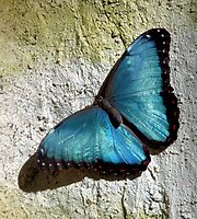 Blue Morpho by SuddenJim