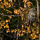 Great Grey Owl by Kerri Gallagher