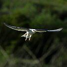 White Tailed Kite In Flight by DARRIN ALDRIDGE