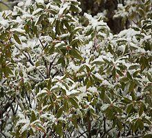 Frozen Laurels by Imagery