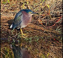 Green Heron by mimsjodi