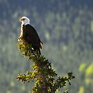 Talbot Lake Eagle by EchoNorth