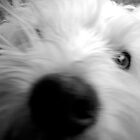 Jack the westie by Andreu