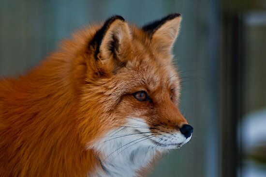 Am I Fox Worthy? by Sylvain Dumas