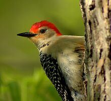 Red-bellied Woodpecker by Jeff Weymier