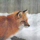Fox #3 by MarieG