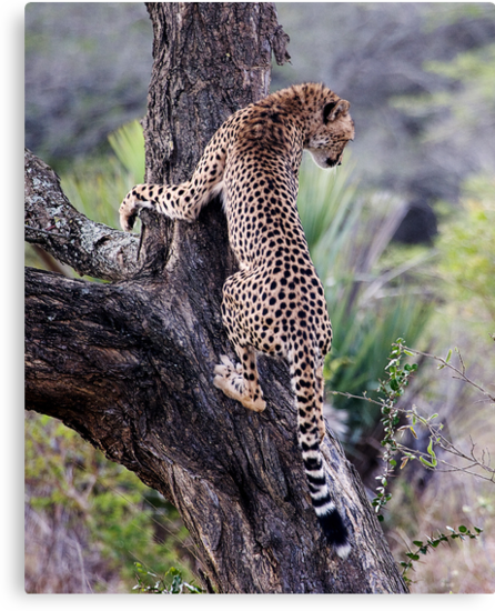 Cheetah Up Tree by Michael  Moss