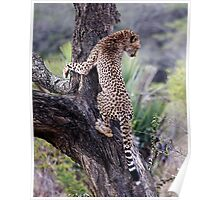 Cheetah Up Tree Poster