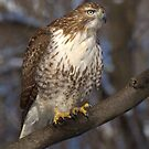 Red-tailed Hawk by Jeff Weymier