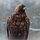Golden Eagle in the Snow by Wanda Dumas