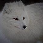 Snowy White Fox by Wanda Dumas