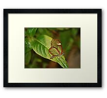 Glasswing Butterfly (Costa Rican) Framed Print