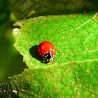 Ladybug by Pandrot