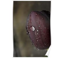 Queen of the Night Tulip Poster