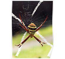 St Andrew's Cross Spider - Female Poster