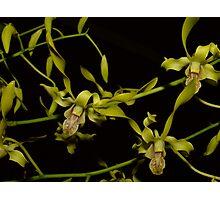 Dendrobium stratiotes Photographic Print
