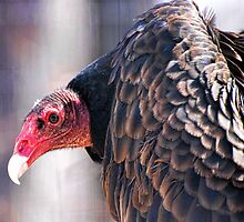 Vulture or Turkey Buzzard by barnsis