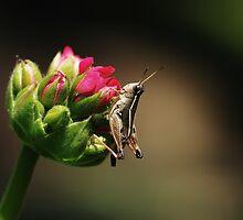 Baby grasshopper by Alicia  Liliana