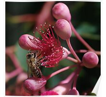 Bee on Red Flowering Gum Poster
