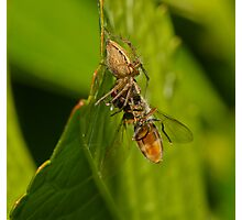 Spider Eating Fly Photographic Print