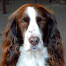 English springer spaniel by spazjazz101